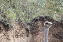 Στρουθοκάμηλος Στοκ Φωτογραφίες