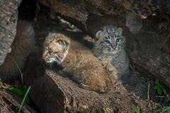 Στροφή rufus λυγξ γατακιών Bobcat στο κούτσουρο Στοκ Φωτογραφίες