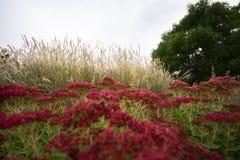 Στροφή Sedum χαράς φθινοπώρου κόκκινη το φθινόπωρο στοκ εικόνες