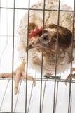 Στρώματα - κότα από την εντατική εσωτερική καλλιέργεια Στοκ φωτογραφίες με δικαίωμα ελεύθερης χρήσης