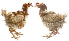Στρώματα - κότες από την εντατική εσωτερική καλλιέργεια Στοκ φωτογραφία με δικαίωμα ελεύθερης χρήσης