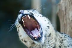 Στόμα ανοίγματος λεοπαρδάλεων χιονιού ευρέως και βρυχηθμός στοκ εικόνες