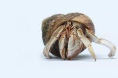 στόμα Κάτω Χώρες ερημιτών εστίασης καβουριών Στοκ εικόνα με δικαίωμα ελεύθερης χρήσης