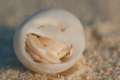στόμα Κάτω Χώρες ερημιτών εστίασης καβουριών Στοκ φωτογραφίες με δικαίωμα ελεύθερης χρήσης