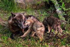 Στόμα της γκρίζας λύκων (Λύκος Canis) κουταβιών μητέρας γλειψιμάτων Στοκ Εικόνα