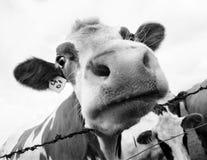στόμα 2 αγελάδων στοκ εικόνες
