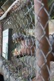 στόμα hippo ανοικτό Στοκ φωτογραφίες με δικαίωμα ελεύθερης χρήσης
