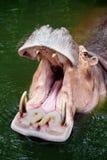 Στόμα Hippopotamus ανοικτό Στοκ Φωτογραφίες