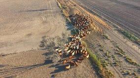 Συγκέντρωση βοοειδών εσωτερικών με το κοπάδι των βοοειδών φιλμ μικρού μήκους