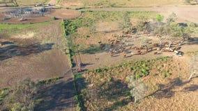 Συγκέντρωση βοοειδών εσωτερικών με το κοπάδι των βοοειδών απόθεμα βίντεο