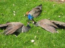 Συγκέντρωση Peacock Στοκ φωτογραφίες με δικαίωμα ελεύθερης χρήσης