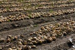 συγκεντρωμένα κρεμμύδια Στοκ φωτογραφία με δικαίωμα ελεύθερης χρήσης