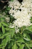 συγκεντρώνεται elderflower nigra το sambucus στοκ εικόνες