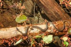 Συγκεντρώστε το φίδι σε ένα κούτσουρο Στοκ Εικόνες
