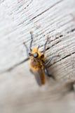 Συγκεχυμένη μύγα Στοκ εικόνες με δικαίωμα ελεύθερης χρήσης