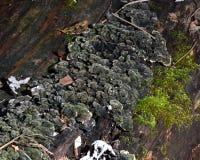 Συγκεχυμένοι μύκητες σε ένα κούτσουρο Στοκ Εικόνα