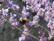 Συγκεχυμένο bumblebee στα πορφυρά λουλούδια και το φως του ήλιου Στοκ φωτογραφία με δικαίωμα ελεύθερης χρήσης