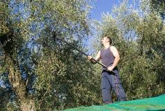 συγκομίζοντας ελιές Στοκ φωτογραφίες με δικαίωμα ελεύθερης χρήσης