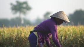 Συγκομίζοντας κίτρινο ρύζι απόθεμα βίντεο