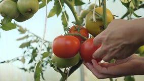 Συγκομίζοντας ντομάτες Ένας αγρότης σε ένα θερμοκήπιο που συγκομίζει τις οργανικές ντομάτες φιλμ μικρού μήκους
