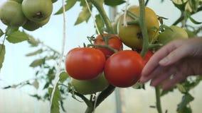 Συγκομίζοντας ντομάτες Ένας αγρότης σε ένα θερμοκήπιο που συγκομίζει τις οργανικές ντομάτες απόθεμα βίντεο