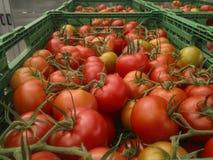 Συγκομίζοντας ντομάτες, ντομάτες σε έναν κλάδο σε ένα κιβώτιο στοκ εικόνες