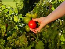 Συγκομίζοντας ντομάτες Στοκ εικόνα με δικαίωμα ελεύθερης χρήσης