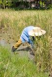 συγκομίζοντας ρύζι Στοκ εικόνα με δικαίωμα ελεύθερης χρήσης