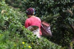 Συγκομίζοντας στον κήπο τσαγιού, στοκ φωτογραφία με δικαίωμα ελεύθερης χρήσης