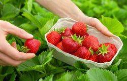 Συγκομίζοντας τέλειες φράουλες στοκ εικόνα με δικαίωμα ελεύθερης χρήσης