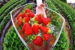 Συγκομίζοντας φράουλες Στοκ Φωτογραφίες