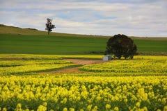 Συγκομιδές αγροτική Αυστραλία Canola Στοκ φωτογραφία με δικαίωμα ελεύθερης χρήσης