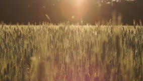 Συγκομιδές σίτου που ταλαντεύονται στον αέρα, πλούσιο εύφορο έδαφος, μικρή επιχείρηση στη γεωργία απόθεμα βίντεο