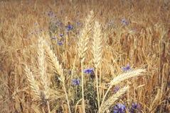 Συγκομιδή δημητριακών με τα άγρια μπλε λουλούδια Στοκ Εικόνα