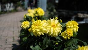 Συγκομιδή εγκαταστάσεων ηλίανθων σε έναν κήπο Στοκ φωτογραφία με δικαίωμα ελεύθερης χρήσης