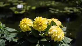 Συγκομιδή εγκαταστάσεων ηλίανθων σε έναν κήπο Στοκ Εικόνες