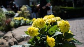 Συγκομιδή εγκαταστάσεων ηλίανθων σε έναν κήπο Στοκ φωτογραφίες με δικαίωμα ελεύθερης χρήσης