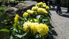 Συγκομιδή εγκαταστάσεων ηλίανθων σε έναν κήπο Στοκ Εικόνα