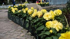 Συγκομιδή εγκαταστάσεων ηλίανθων σε έναν κήπο Στοκ Φωτογραφίες
