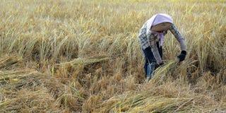 Συγκομιδή εργαζομένων στον τομέα ρυζιού στοκ εικόνες