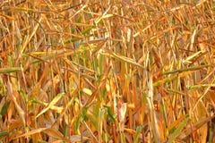 Συγκομιδή καλαμποκιού και αυστηρή ξηρασία στοκ φωτογραφίες