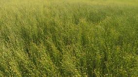 Συγκομιδή λιναριού στα αγροτικά λιβάδια απόθεμα βίντεο
