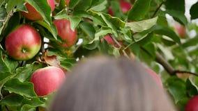 συγκομιδή μήλων η γυναίκα μαδά με το χέρι ένα μήλο και που βάζει δικοί του σε ένα καλάθι απόθεμα βίντεο