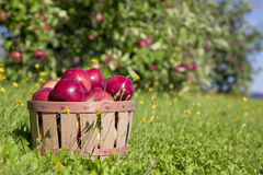 Συγκομιδή μήλων πτώσης Στοκ Φωτογραφία
