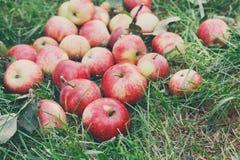 Συγκομιδή μήλων στη χλόη στον κήπο, τοπ άποψη Στοκ φωτογραφία με δικαίωμα ελεύθερης χρήσης