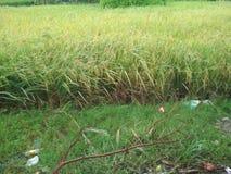 Συγκομιδή ρυζιού Στοκ φωτογραφία με δικαίωμα ελεύθερης χρήσης
