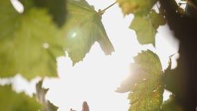 Συγκομιδή σταφυλιών το φθινόπωρο φιλμ μικρού μήκους