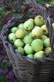 Συγκομιδή της Apple φθινοπώρου στον οπωρώνα - πράσινα μήλα σε ένα ψάθινο καλάθι Στοκ εικόνα με δικαίωμα ελεύθερης χρήσης