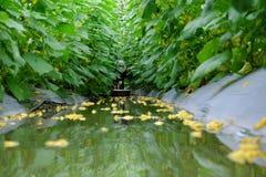 Συγκομιδή της Farmer στον τομέα αγγουριών Στοκ εικόνα με δικαίωμα ελεύθερης χρήσης