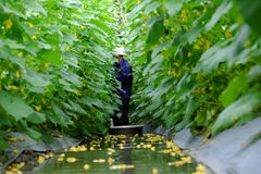 Συγκομιδή της Farmer στον τομέα αγγουριών Στοκ εικόνες με δικαίωμα ελεύθερης χρήσης